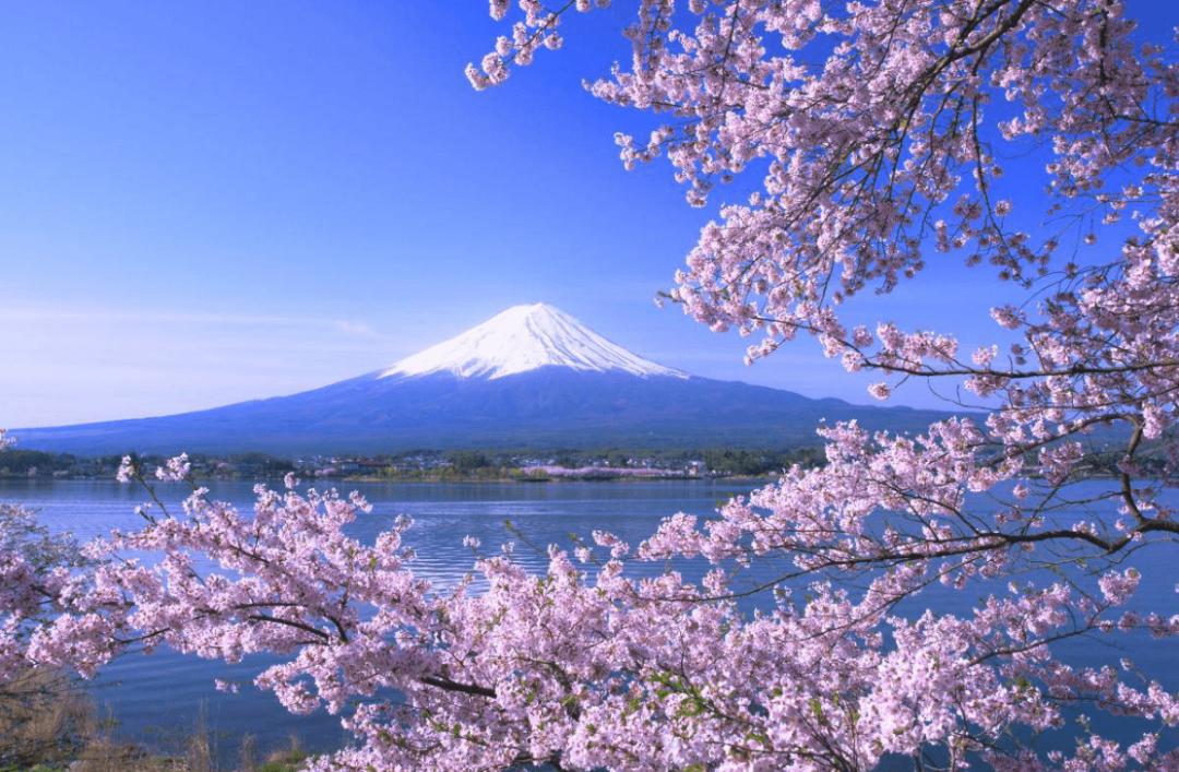 Image result for lake kawaguchi sakura