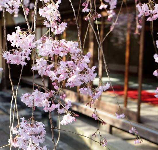 關西大阪京都櫻花 Cherry Blossoms