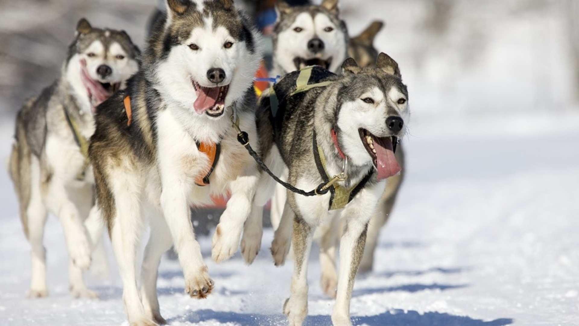 【芬蘭哈士奇探險之旅】北極圈森林哈士奇雪橇體驗+哈士奇牧場+拉普蘭特色小吃半日遊