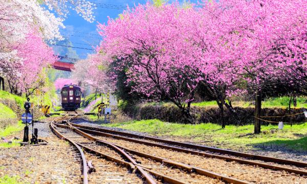 【【東京近郊賞櫻一日遊】渡良瀨溪谷鐵道、高津戶峽、足利花卉公園、採草莓(新宿出發)