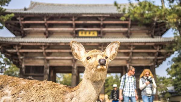 【【京都奈良巴士一日遊】伏見稻荷大社、嵐山、金閣寺、奈良公園東大寺