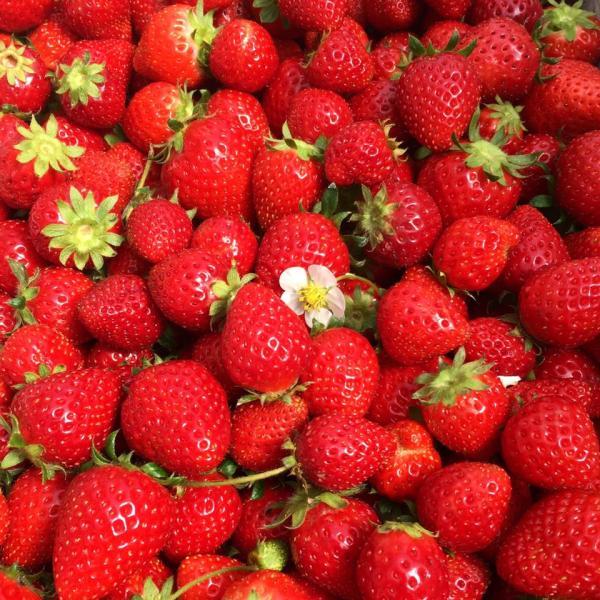 【【沖繩南部冬季限定】採草莓吃到飽、系滿魚市場、瀨長島一日遊