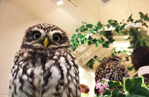 【【東京寵物體驗】原宿新型態貓頭鷹咖啡廳・貓頭鷹花園