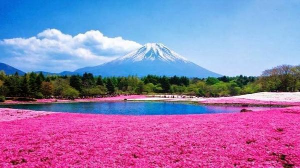 【【東京近郊一日遊】富士五合目芝櫻祭、石原農場採草莓(東京出發)