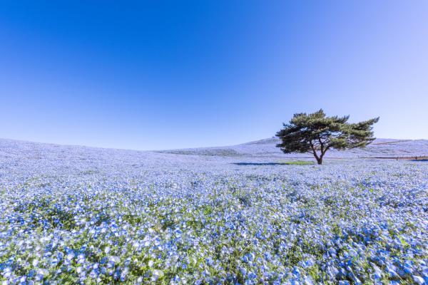 【【東京賞花一日遊】日立海濱公園粉蝶花之丘・足利公園紫藤花