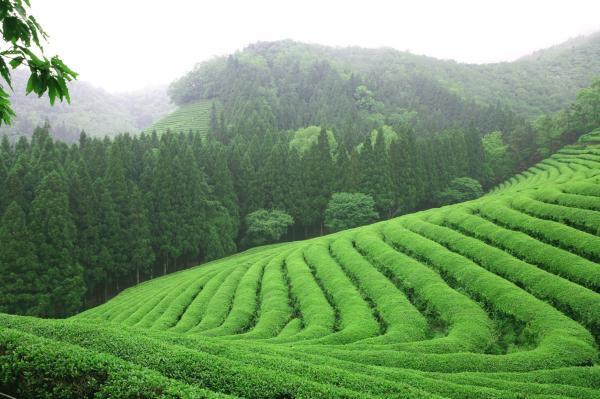 【【韓國茶文化慶典】大韓茶園寶城茶香節(首爾 \/ 釜山出發)