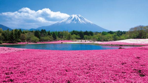 【【東京巴士一日遊】富士芝櫻祭、富士山五合目、河口湖纜車、水果採摘吃到飽