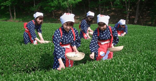 【【東京巴士一日遊】靜岡採茶體驗、駿河灣乘船、採草莓