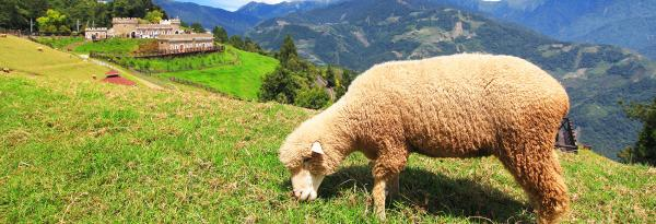 【【清境農場餵羊趣】小歐洲莊園清境農場慢活之旅