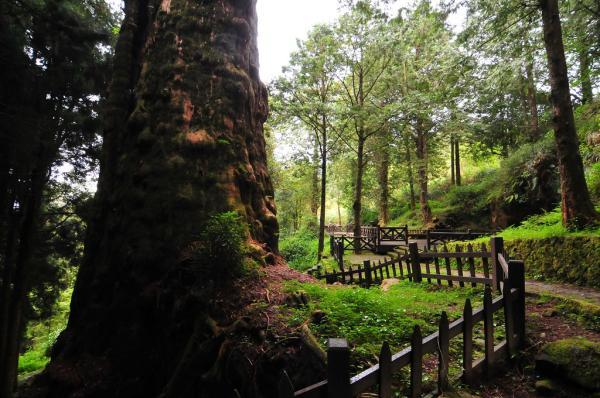 【【阿里山一日遊】森林遊樂區、阿里山小火車、巨木群棧道(台中或嘉義高鐵出發)