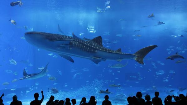 【【沖繩中北部】美麗海水族館、古宇利島、萬座毛、鳳梨公園、御菓子御殿巴士一日遊(含門票)