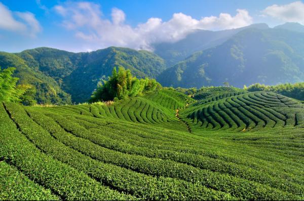 【【阿里山天長地久森林浴】阿里山龍隱寺高山茶品茗包車一日遊