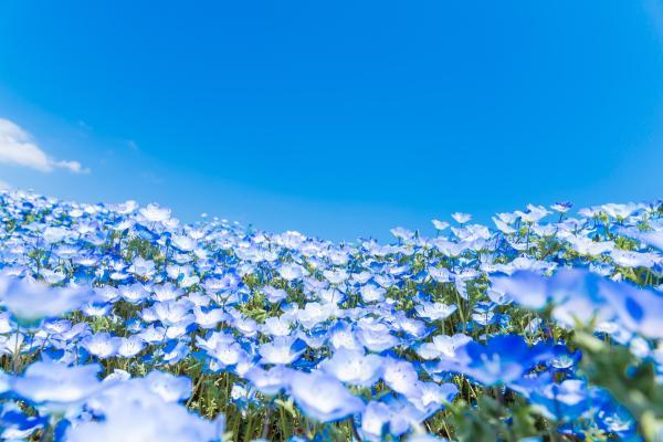 【【東京賞花一日遊】日立海濱公園粉蝶花、足利花卉公園紫藤花、烤肉吃到飽