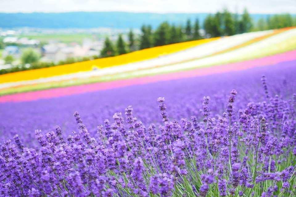 【北海道賞花一日遊】富田農場薰衣草、美瑛四季彩之丘、青池